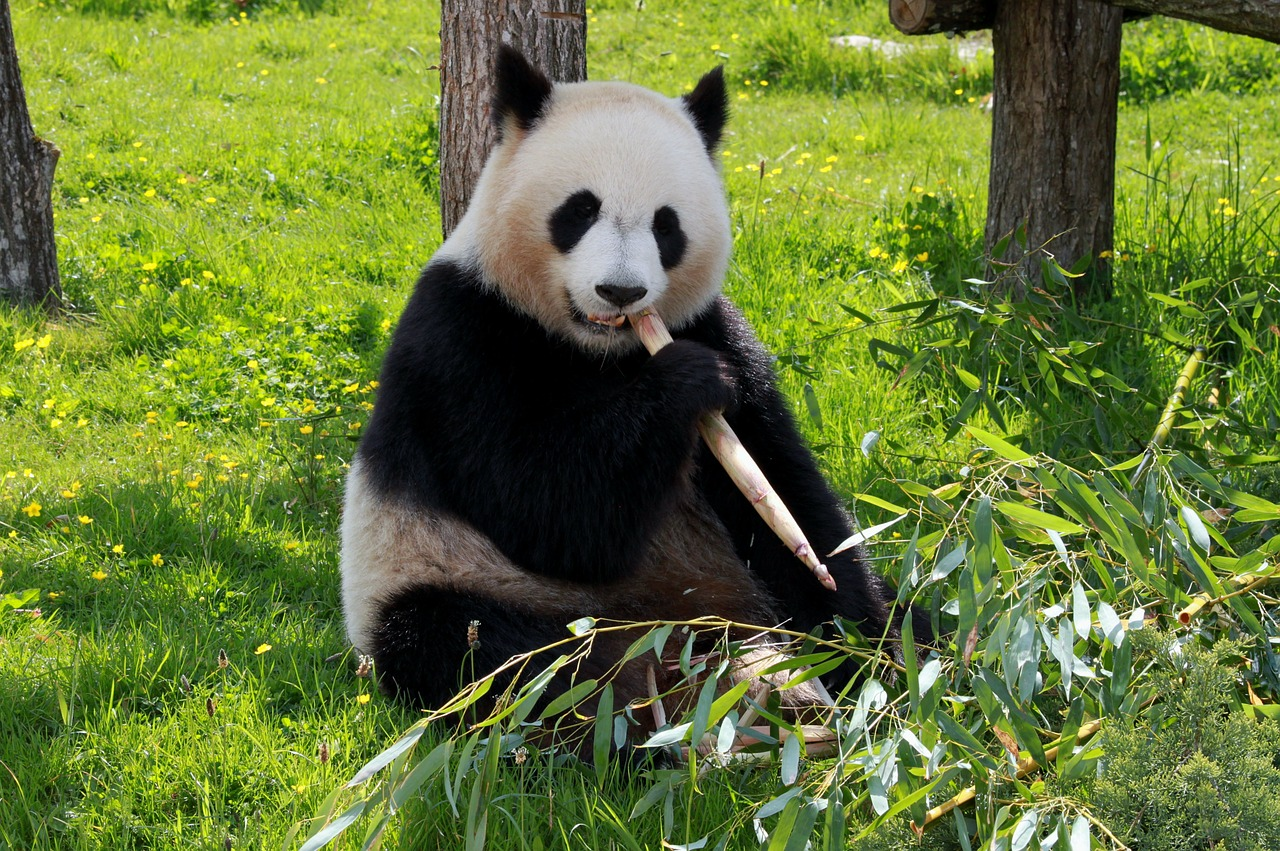 A panda chewing its food.